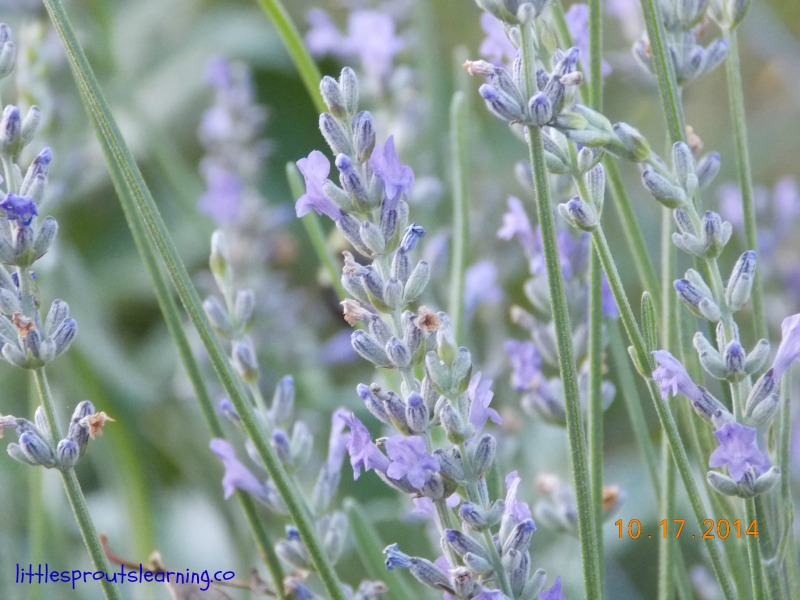 lavendar in the garden