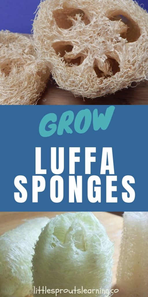 Did you know you can grow luffa? How to grow luffas, where to get seeds, and what to use loofah for. Find out more about everything luffa.