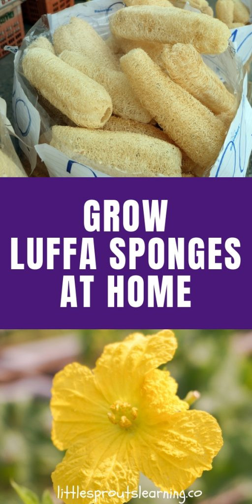 Did you know you can grow your own luffa in your garden? Luffa sponge plants are actually a gourd! Luffa growing is so much fun and it's easy too! How to grow and use loofah sponges and where to buy them. Luffa sponges are useful for the body, home, and are even edible.