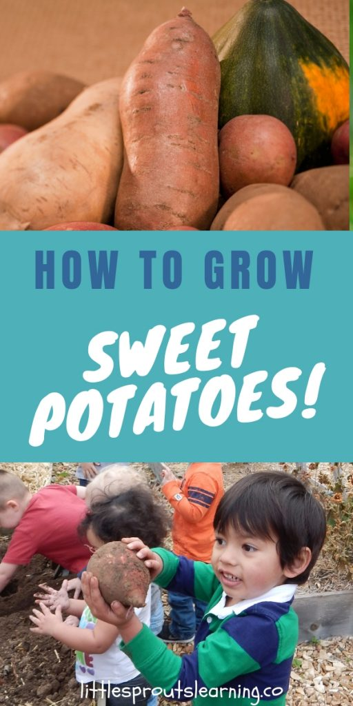 Growing sweet potato vine is easy and it's exciting for the kids to grow things under the ground. It's amazing when you see that so much has been going on under ground. Learn to grow sweet potatoes at home!