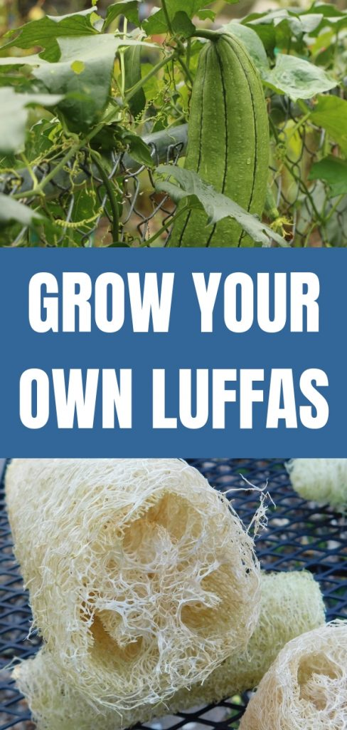 You can GROW luffa sponges for your shower or many other uses.