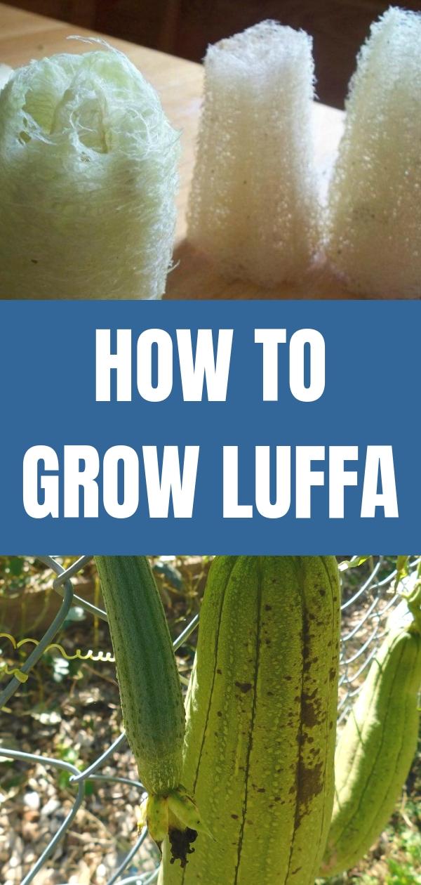 How To Grow Luffa