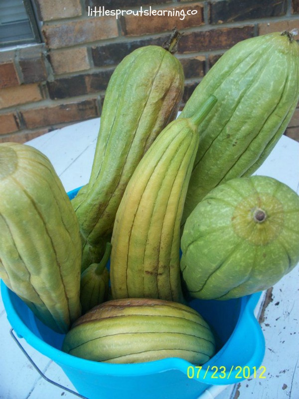 How to Grow Luffas, bucket full of harvested loofahs ready to peel