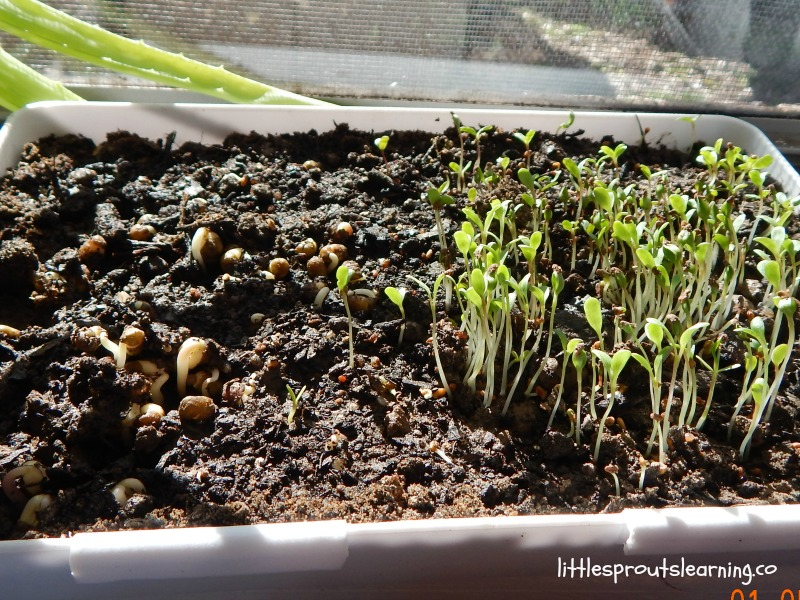 week old microgreens at home in the kitchen window, alfalfa sprouts are about 1 inch tall and sunflower sprouts are about to emerge from the soil.