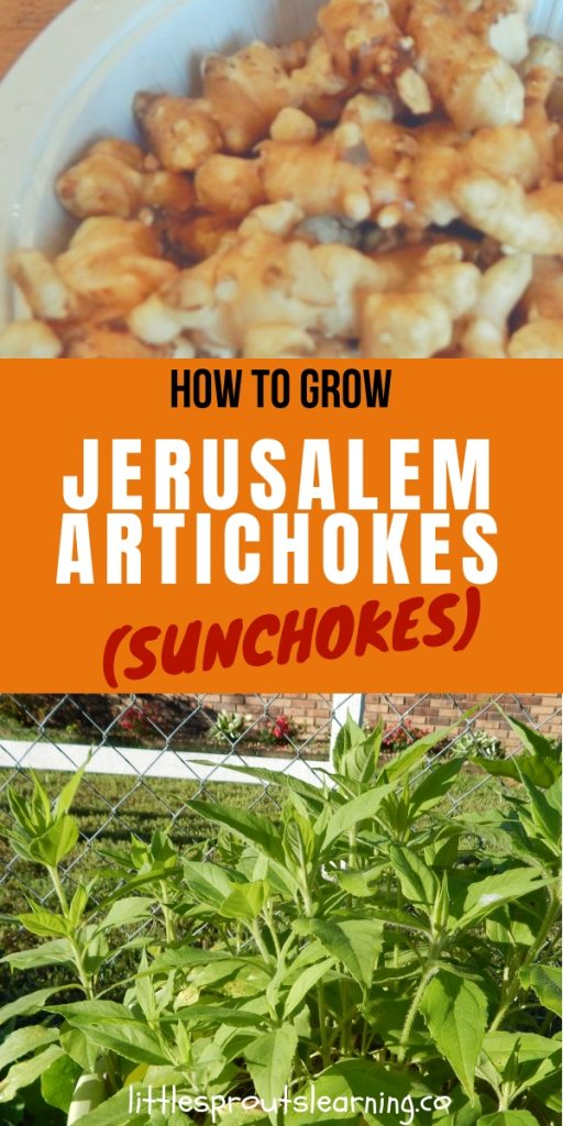 Have you heard of Jerusalem artichokes or sunchokes? They are easy to grow and even have pretty flowers that smell like chocolate.