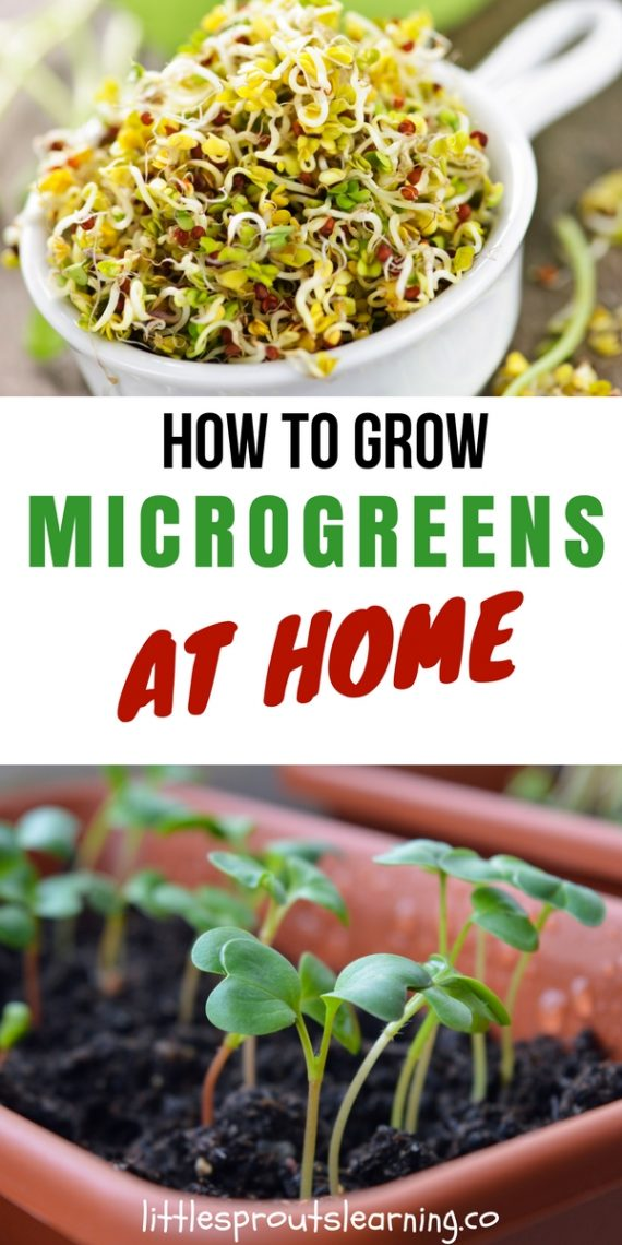 How To Grow It And How To Use It For: How To Grow Microgreens At Home