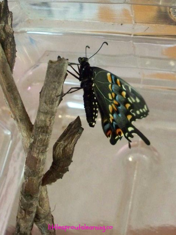 black swallowtail butterfly hatching from chysallis