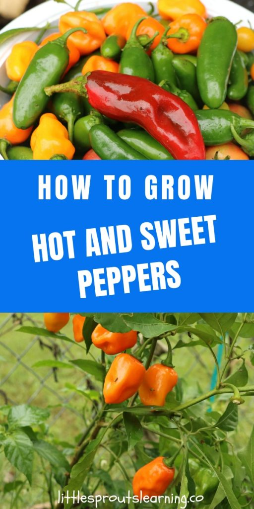 HOW TO GROW HOT PEPPERS AND SWEET PEPPERS. Peppers can add a lot of nutrition and flavor to your dishes. You just need a few things for success.