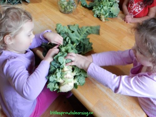 Brussel sprouts are a fun and delicious addition to the vegetable garden. They are interesting, easy to grow and don't have a lot of pest problems.