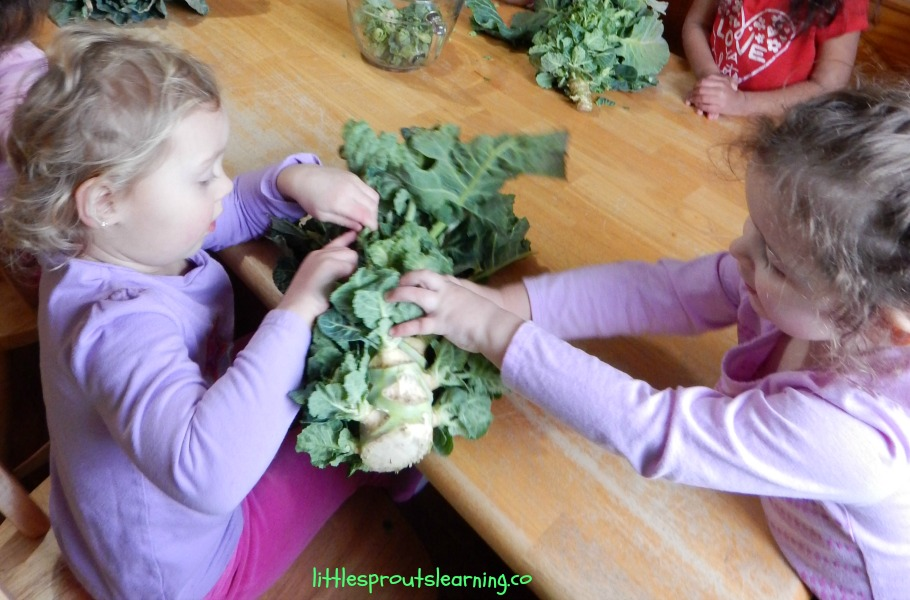 harvesting brussels sprouts with preschoolers