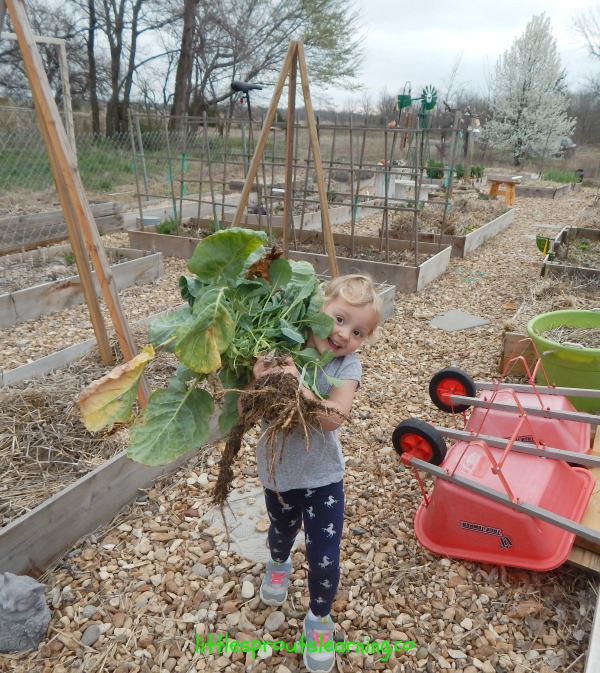 kids harvesting brussels sprouts, garden in march chores