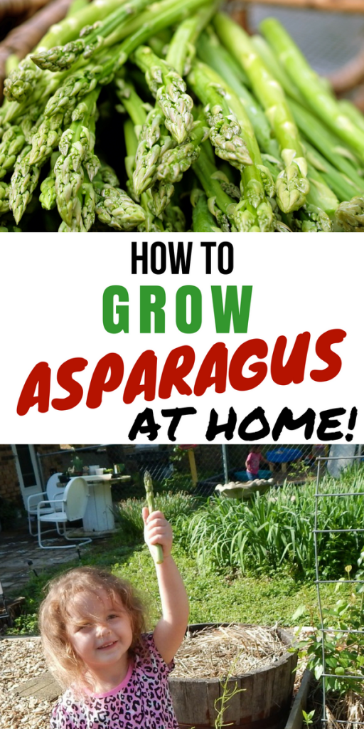 How to Grow Asparagus at Home!