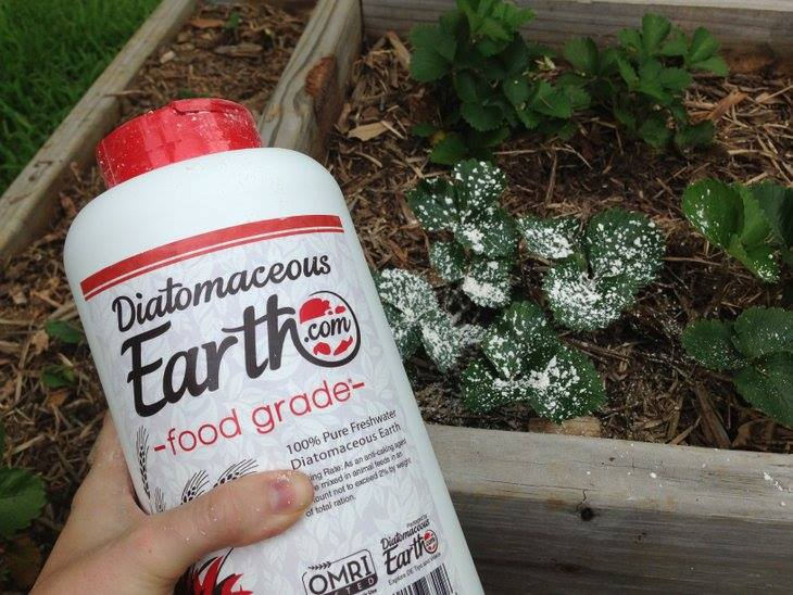 Diatomaceous earth for gardens, bottle of DE and strawberry garden bed with DE applied
