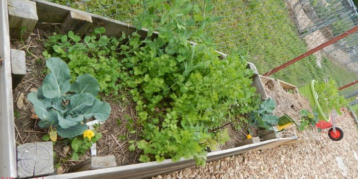 There is nothing wrong with gardening right in the ground, but raised garden beds offer some different options to gardeners as growing spaces.