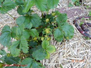 may gardens, strawberry plant