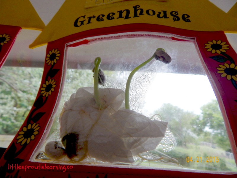 seedling germination in a grow bag in the window