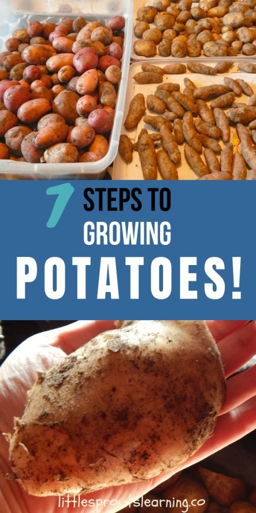 Potatoes are a fun crop for your garden. Find out the secrets of growing potatoes and what mistakes to avoid. Home grown potatoes are much healthier to eat!