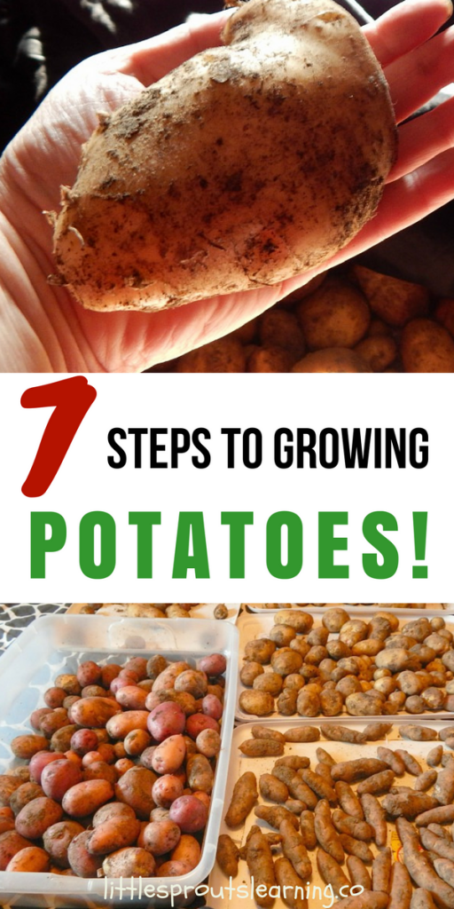 7 Steps to Growing Potatoes!