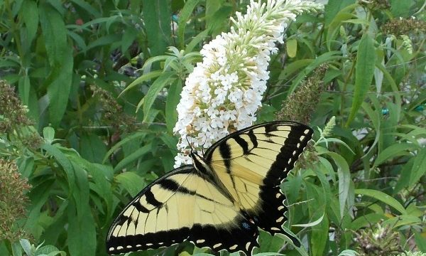 Butterflies, bees, pollinators! Without pollinators, we can't survive. Butterfly populations are on the decline? Butterflies need you. Be a butterfly hero.