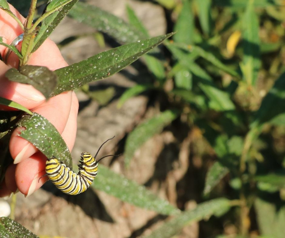 monarch caterpillar on milkweed in the garden