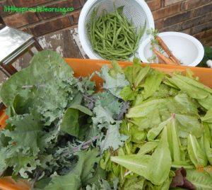 june lettuce harvest