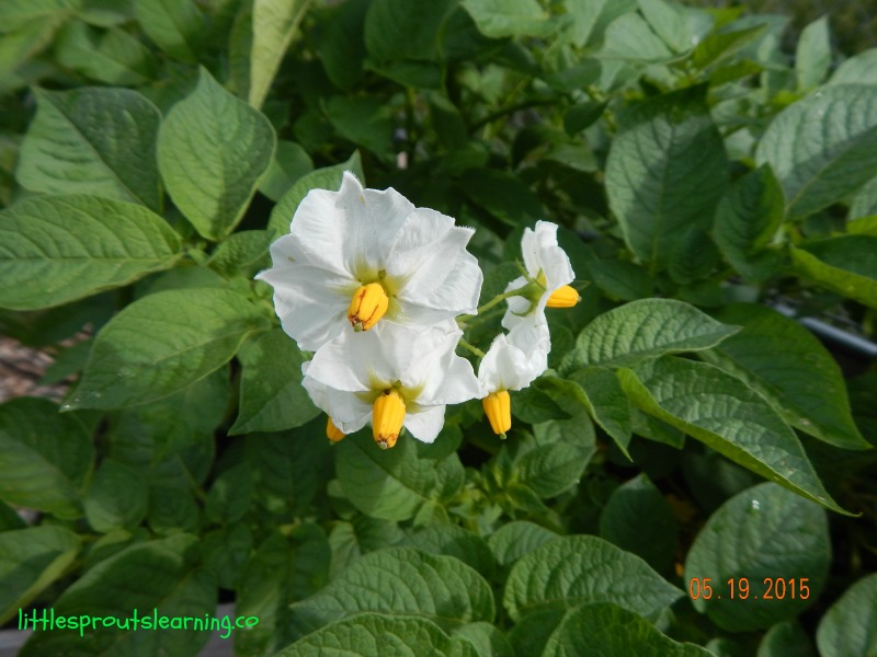 potato flower on potato plant, how to grow potatoes