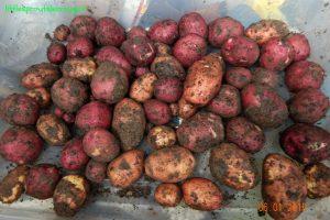 potato harvest, gardening with kids