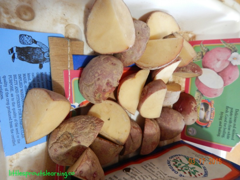 seed potatoes cut
