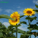 big, beautiful yellow sunflower