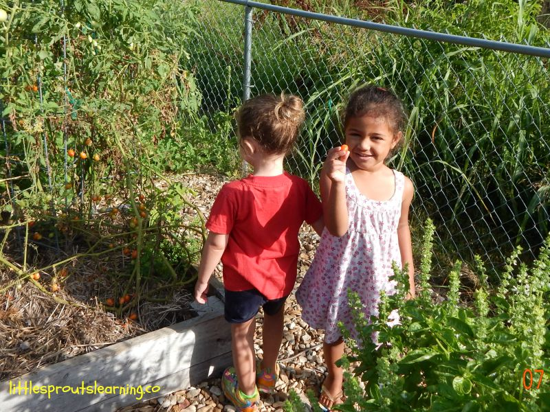 kids picking tomatoes in the garden