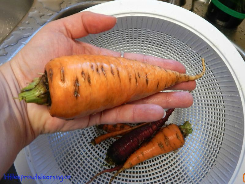 giant carrot in a hand