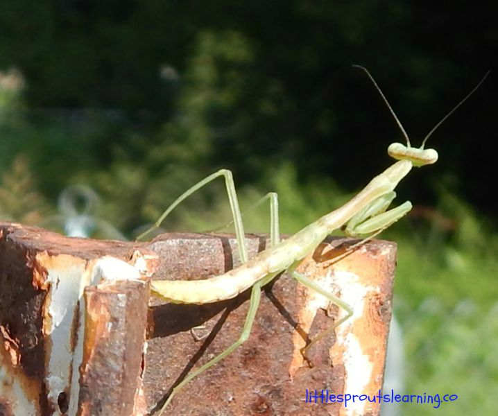 praying mantis on a fence post, benefits of rollie pollies and other insects