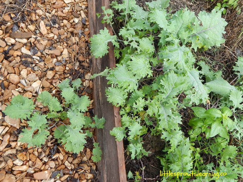 How to grow kale, raised bed with kale plants