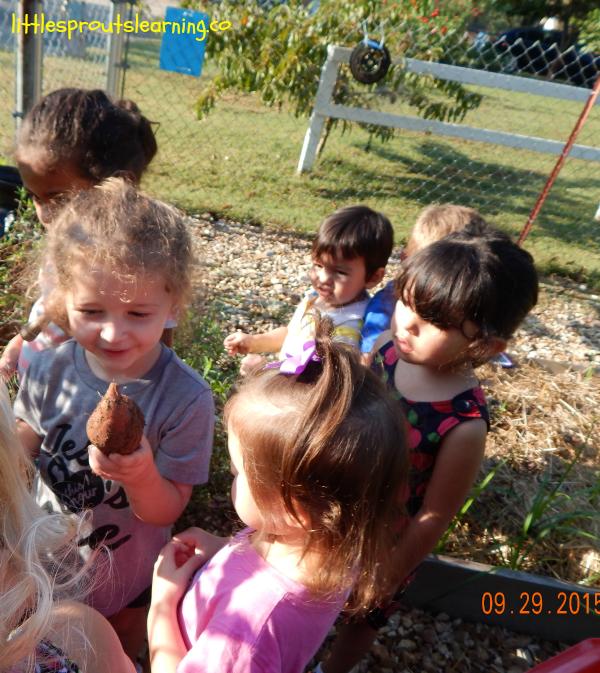 kids digging sweet potatoes