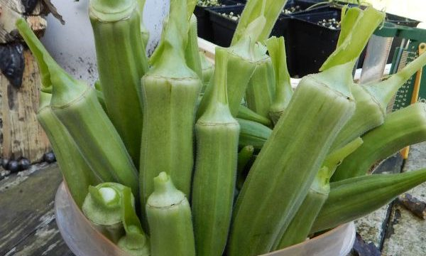 Okra is tasty, easy to grow, and loves heat like our sweltering Oklahoma summers. If you want to grow okra, check this out.