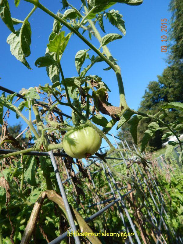 september tomatoes