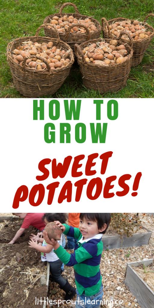 How to Grow Sweet Potatoes!