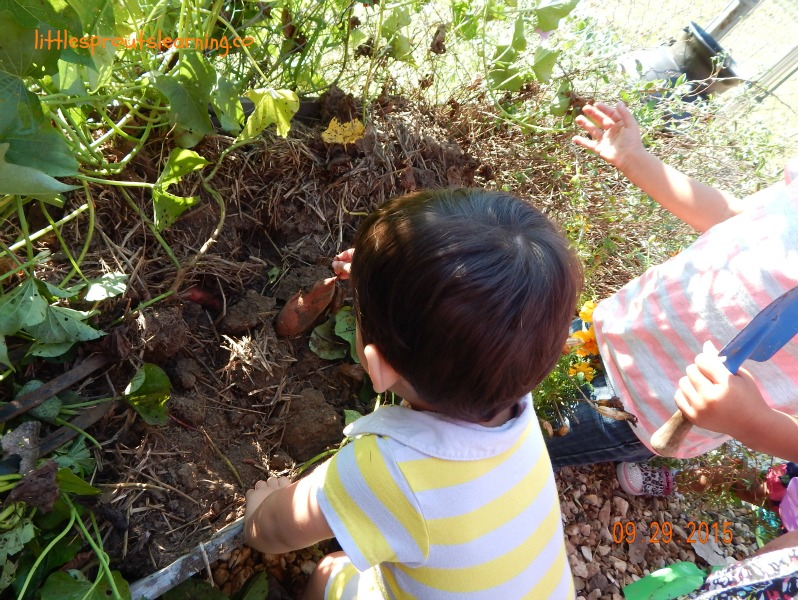gardening with kids digging sweet potatoes