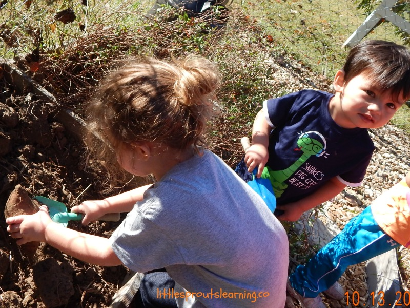 growing sweet potatoes, kids harvesting them from the garden