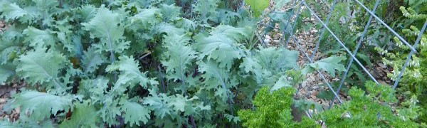 Learn how to grow kale in your vegetable garden. It's super nutritious, grows well in many climates, and it's tasty too. We love growing kale in our preschool garden.