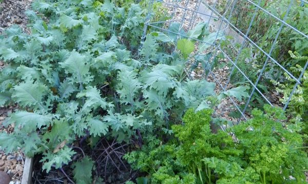 Learn how to grow kale in your vegetable garden. It's nutritious, grows well in many climates, and tasty too. You might be surprised at when it grows best.