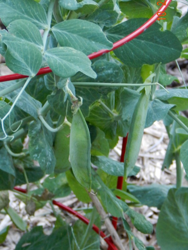 Step by Step Guide to When to Harvest Vegetables in the Garden (And Fruit) peas