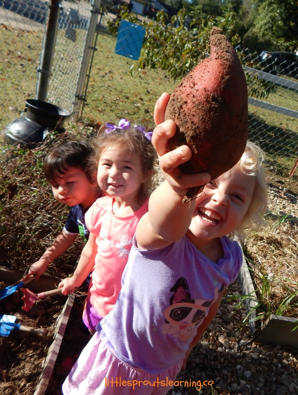 sweet potato growing with kids, child holding a sweet potato just picked.