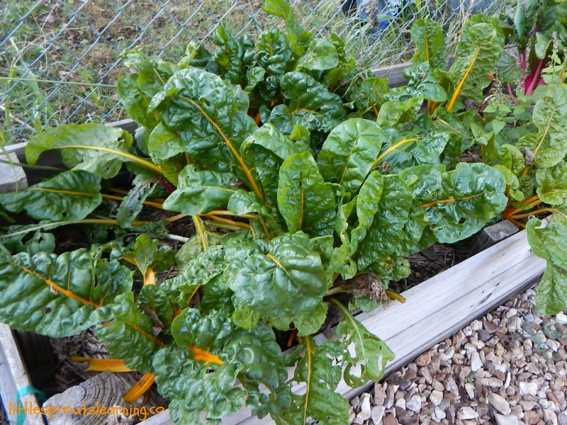 swiss chard, gardening with kids