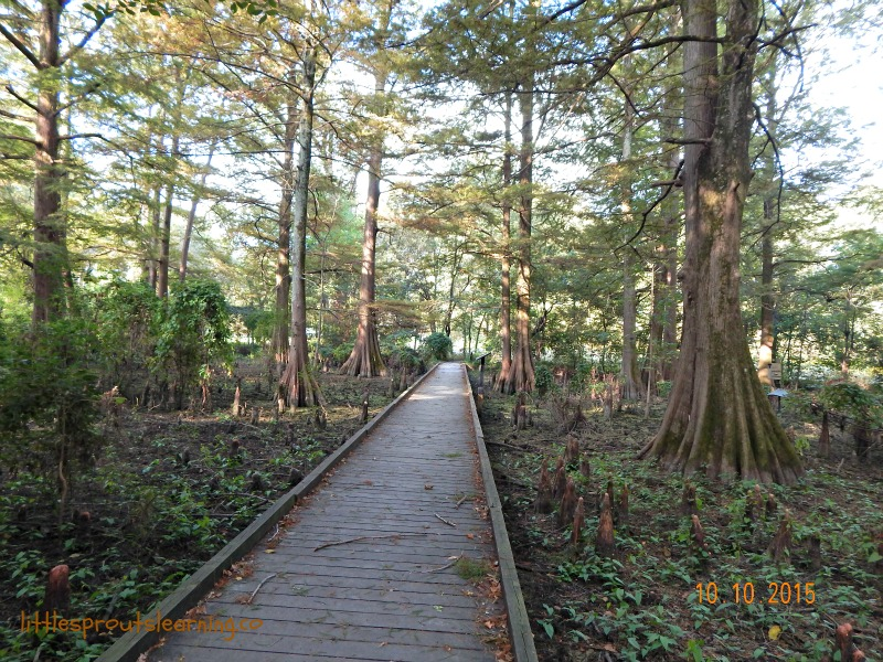 cypress preserve greenville, long board walk surrounded by cypress knees and trees on both sides.