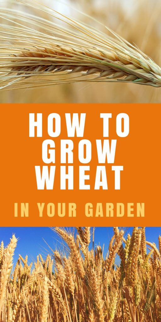 How to grow wheat in your garden