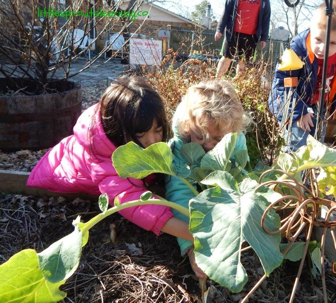 kids harvesting kohlrabi