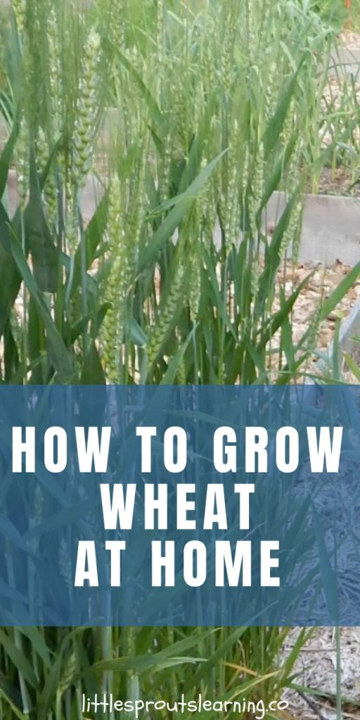 Teaching kids where their food comes from is super important. You can grow wheat, grind it and make it into bread yourself. Wheat will grow right in your vegetable garden. Give it a try.