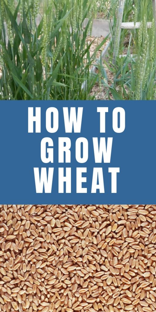 You can grow wheat, grind it and make it into bread yourself. Wheat will grow right in your vegetable garden and it's simpler than you think! Find out how.
