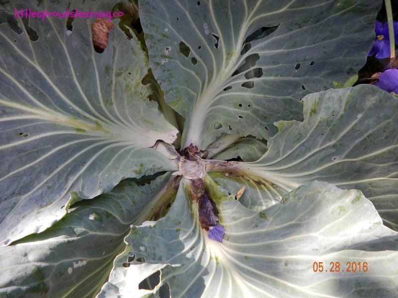 cut cabbage, garden wow